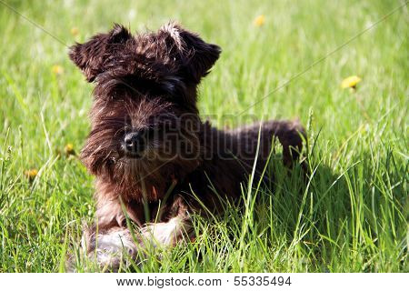 Black And White Miniature Schnauzer Walking Outdoors