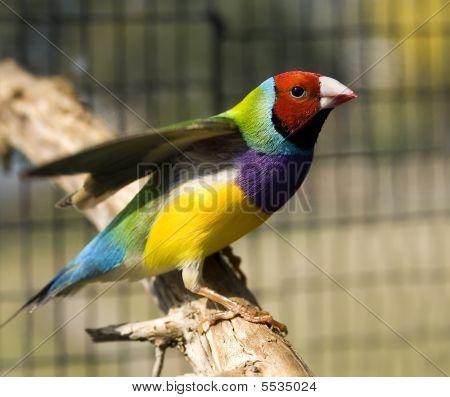 Red-headed Gouldian Finch Male - Australian Native Bird