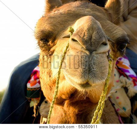 Camel Face Closeup