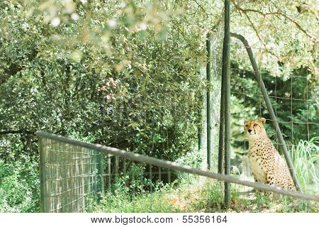 Caged Cheetah In A Zoo