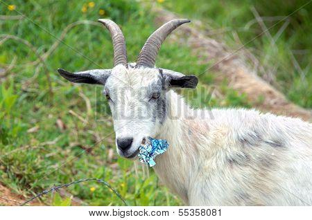 Billy Goat Diet