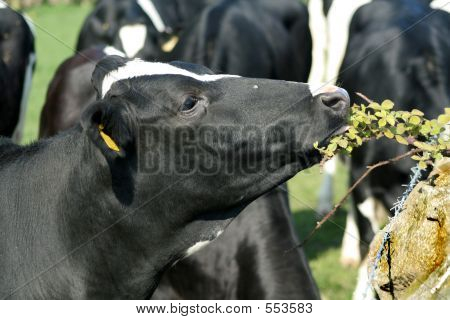 Munching Moo