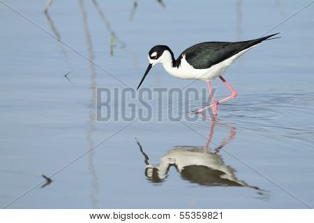 Black-necked Stilt And Reflection - Texas