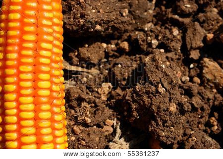 Black Soil And Corn