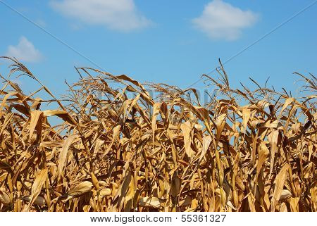 Corn Field Close Up