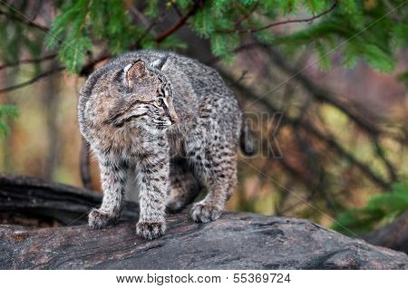 Bobcat Kitten (Lynx Rufus) Looks Right