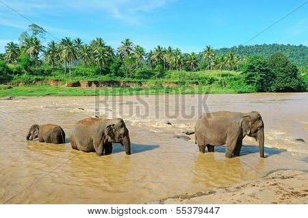 Elephant Group In The River