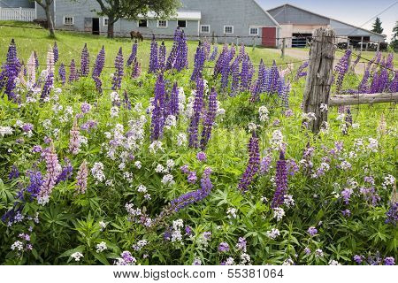 Wild lupins and phlox growing along the side of the road in Clinton, Prince Edward Island.