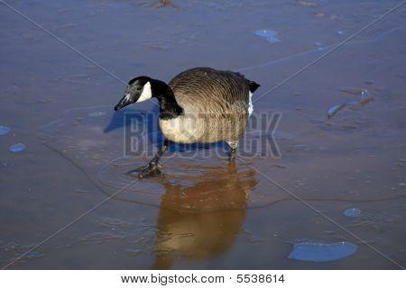 Canada Goose On Thin Ice
