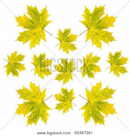 green and yellow leaves of maple tree at autumn