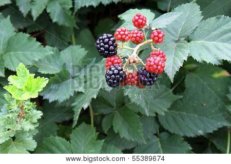 Ripe blackberries in the tree.
