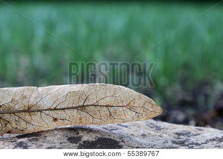 Dead leaf of lime tree on stone.