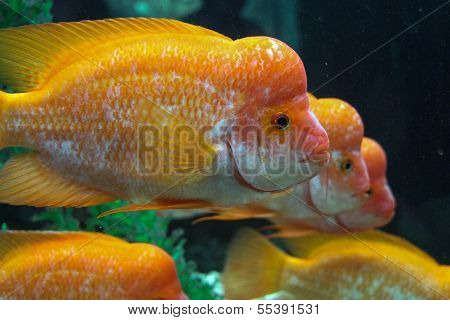 Three Yellow Hump Sea Fish