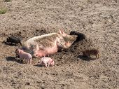 stock photo of farrow  - Pig with farrows in a farm scenery