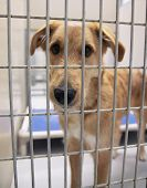 stock photo of spayed  - a dog in a local shelter  - JPG