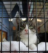 stock photo of spayed  - a cat in a local shelter  - JPG