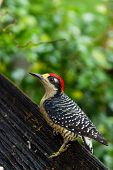 stock photo of woodpecker  - closeup of a black  - JPG