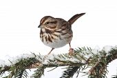 stock photo of songbird  - Song Sparrow  - JPG