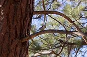 picture of woodpecker  - A woodpecker perched in a Ponderosa pine - JPG