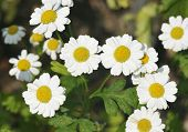 stock photo of feverfew  - Feverfew - Tanacetum parthenium