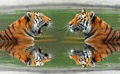 image of tigress  - Siberian Tigers in water - JPG