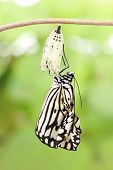 picture of green caterpillar  - amazing moment about butterfly change form chrysalis - JPG