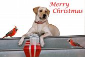pic of cardinals  - Christmas Card with two cardinals and a Golden Retriever dog  with gift boxes isolated on white background