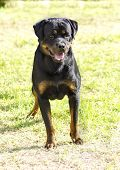 picture of herding dog  - A healthy robust and proudly looking Rottweiler dog with undocked tail standing on the grass - JPG