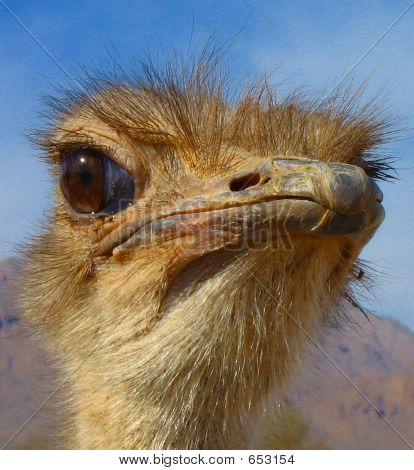 Closeup Of An Ostrich