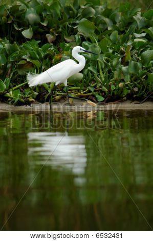 Little egret-1
