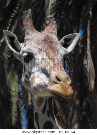 Giraffe Sideways
