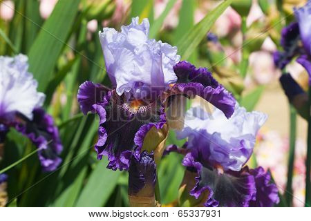 Velvety Blue Iris Flower