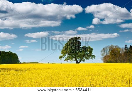 Rapeseed Field On A Sunny Day