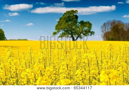 Rapeseed Field On A Sunny Day - Bees At Work