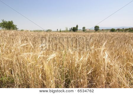 Rural Wheat