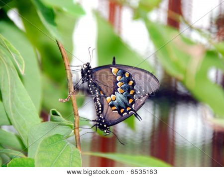Pipevine Swallowtail Pair