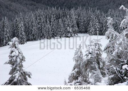 Glade in a winter fir forest