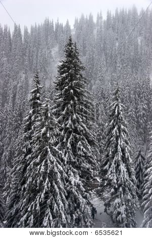Winter Fir Forest On Mountain Slopes