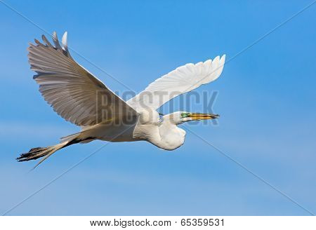 Great Egret Flying With Stick