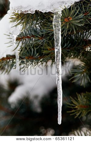 Icicle On Spruce