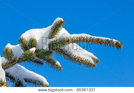 Snowy Pine Bough