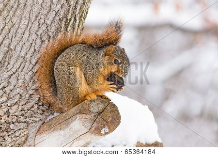 Squirrel Feasts In The Snow