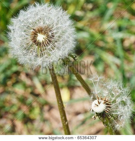 Two Seed Heads Of Dandelion Blowballs Close Up
