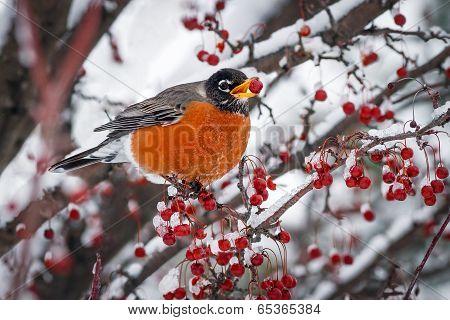 Robin On Snowy Crab Apple Branch