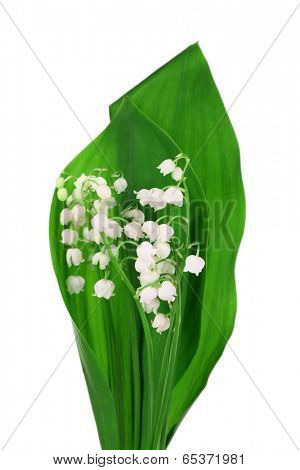 Beautiful lilies of the valley, isolated on white
