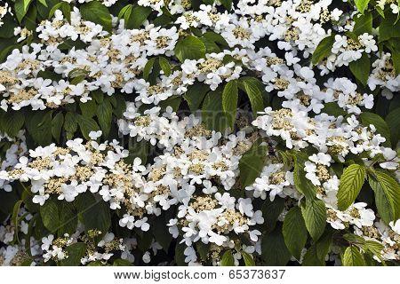 White flowering shrub.