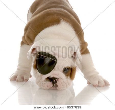 Bulldog Puppy Wearing Eye Patch