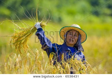 Woman Cutting Rice