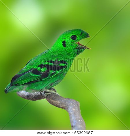 Green Broadbill Bird