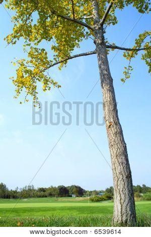 Maidenhair Tree On Golf Course